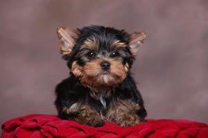 Yorkies for sale, Yorky breeder, Yorky puppies, Yorkshire terrier, Yorkshire terriers for sale, denver, colorado