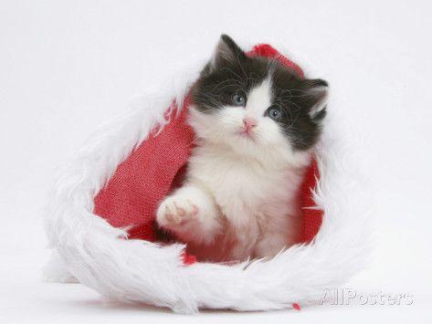 Black-And-White Kitten in a Father Christmas Hat Valokuvavedos tekijänä Mark Taylor AllPosters.fi-sivustossa