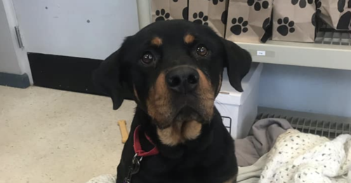 Autumn The Hopeful Rottweiler Is Looking For A Loving Family To Spend Her Last Days With Dog Rottweiler Dogs And Puppies Happy Dogs