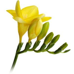Yellow Freesia Flower Fiftyflowers Com Freesia Flowers Wholesale Flowers Wedding Wholesale Flowers