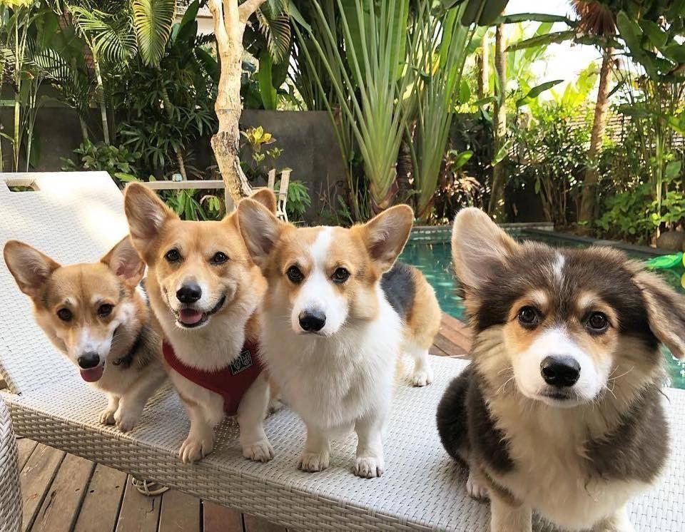 Discover Fun Pembroke Welsh Corgis Puppies Exercise Needs