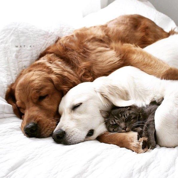 Golden Retrievers And A Cat Sleeping Cute Animals Cute Dogs
