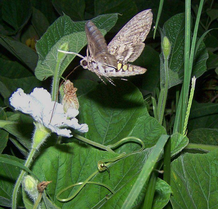Hummingbird moth in my gourd patch