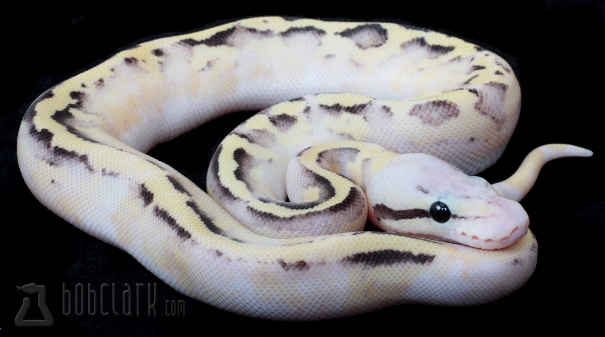 vanilla scream ball python.