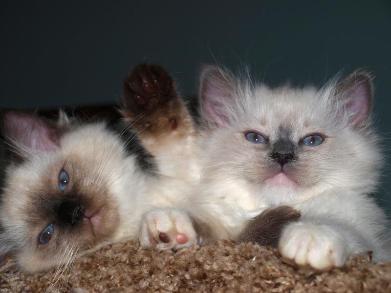 Ragdoll Cats Ragdoll Kittens A Ohio Ragdoll Breeder Kiki Ragdolls Ragdoll Kitten Ragdoll Cat Kittens