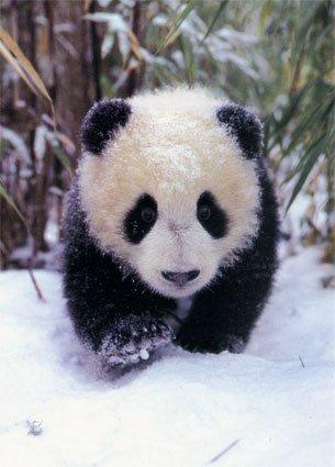 Pin By Cathy On Panda Bears Panda Gif Panda In Snow Panda Bear