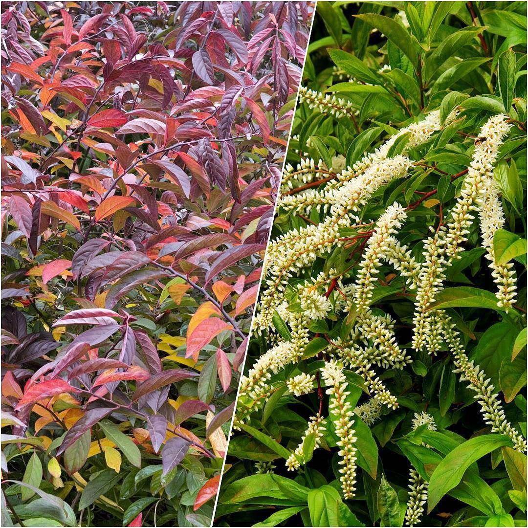 the jewel tined foliage of henry u0027s garnet sweetspire itea will