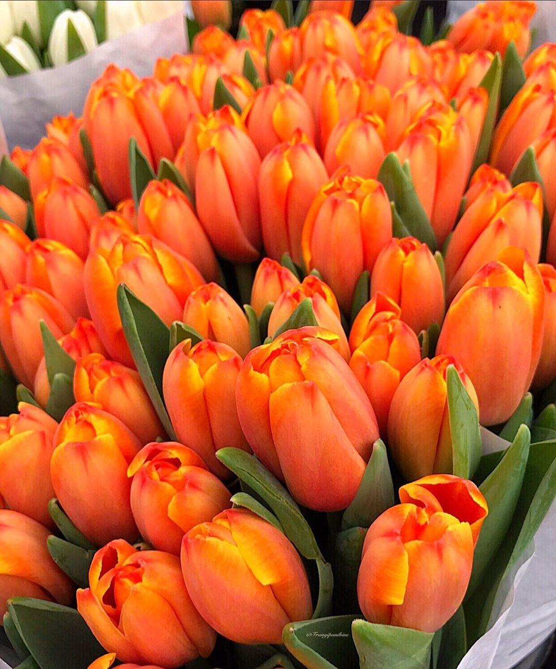 Good Morning Tulips From Amsterdam Have A Nice Thursday My Dear Friends Anzeige Wegen Markennennun Tulips Flowers Tulips Garden Tulips