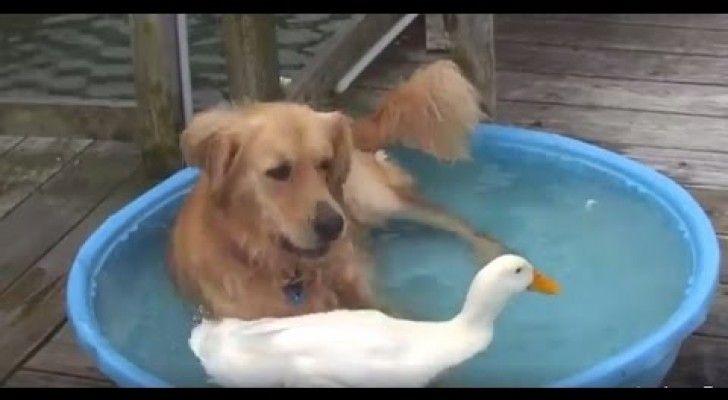 Bagno Cane ~ Un cane e un anatra condividono il bagno in piscina quello che