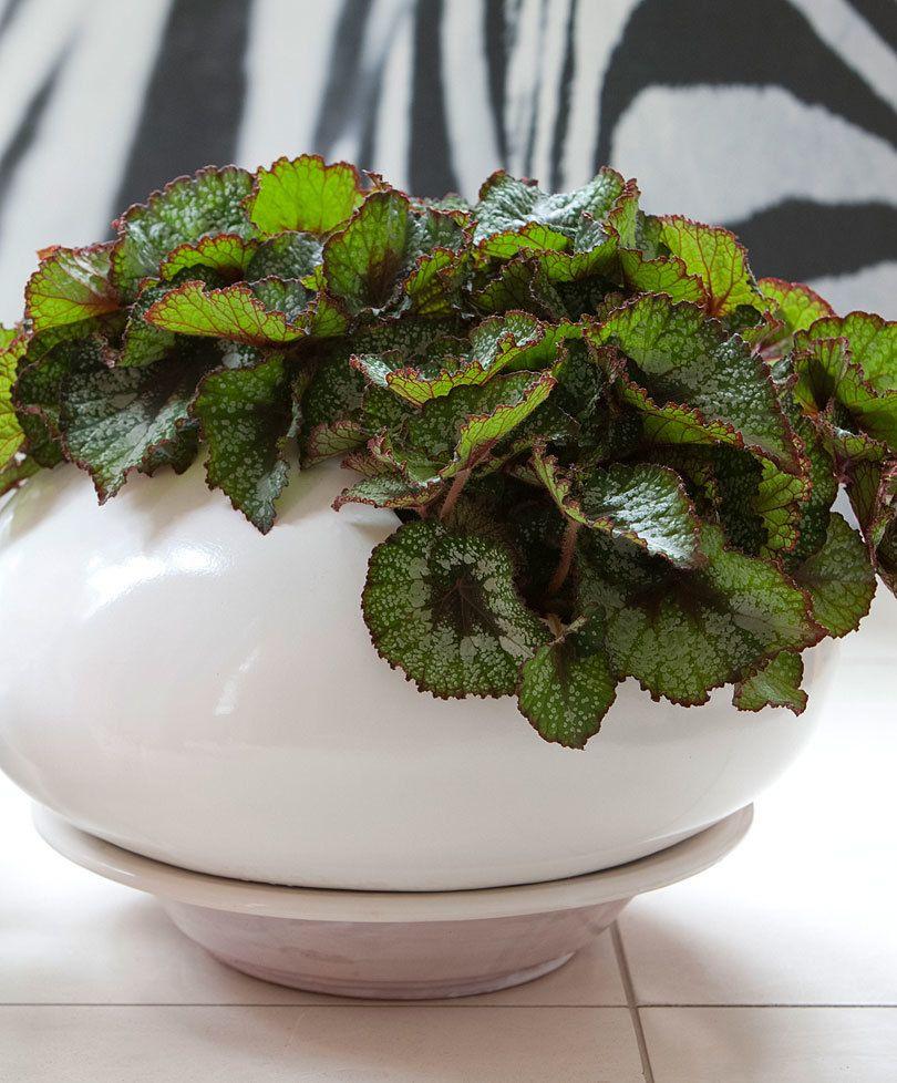 Leafy Begonia Amazing® 'Cartagena'