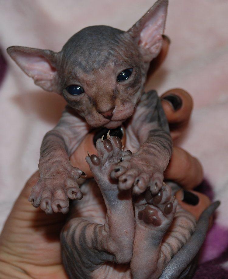 Tabby Sphynx Hairless Kitten Sphynx Kittens For Sale Tabby Kittens For Sale