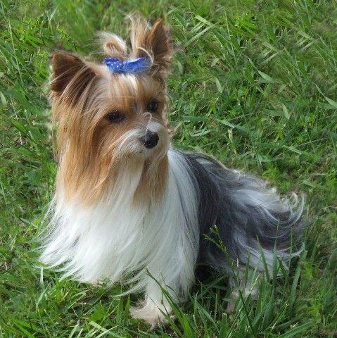 Parti Yorkie Yorkshire Terrier Puppies Yorkie Yorkshire Terrier Dog