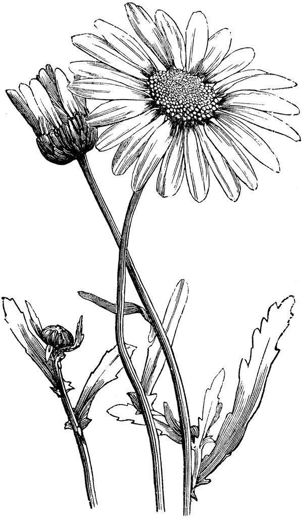 Image result for daisy botanical drawing | art in 2019 ...