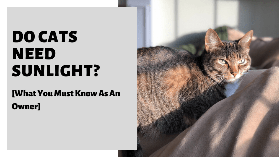 Do Cats Need Sunlight What You Must Know As An Owner Cats Pets Cats Cat Care