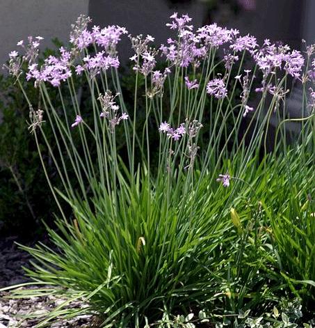 Society Garlic Plant Type S Perennial Environment Best