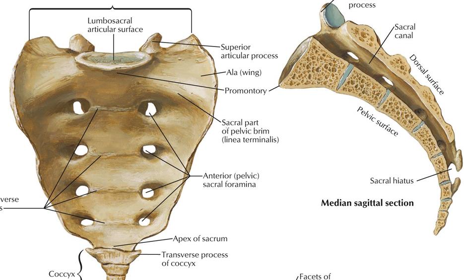 Sacral ala anatomy
