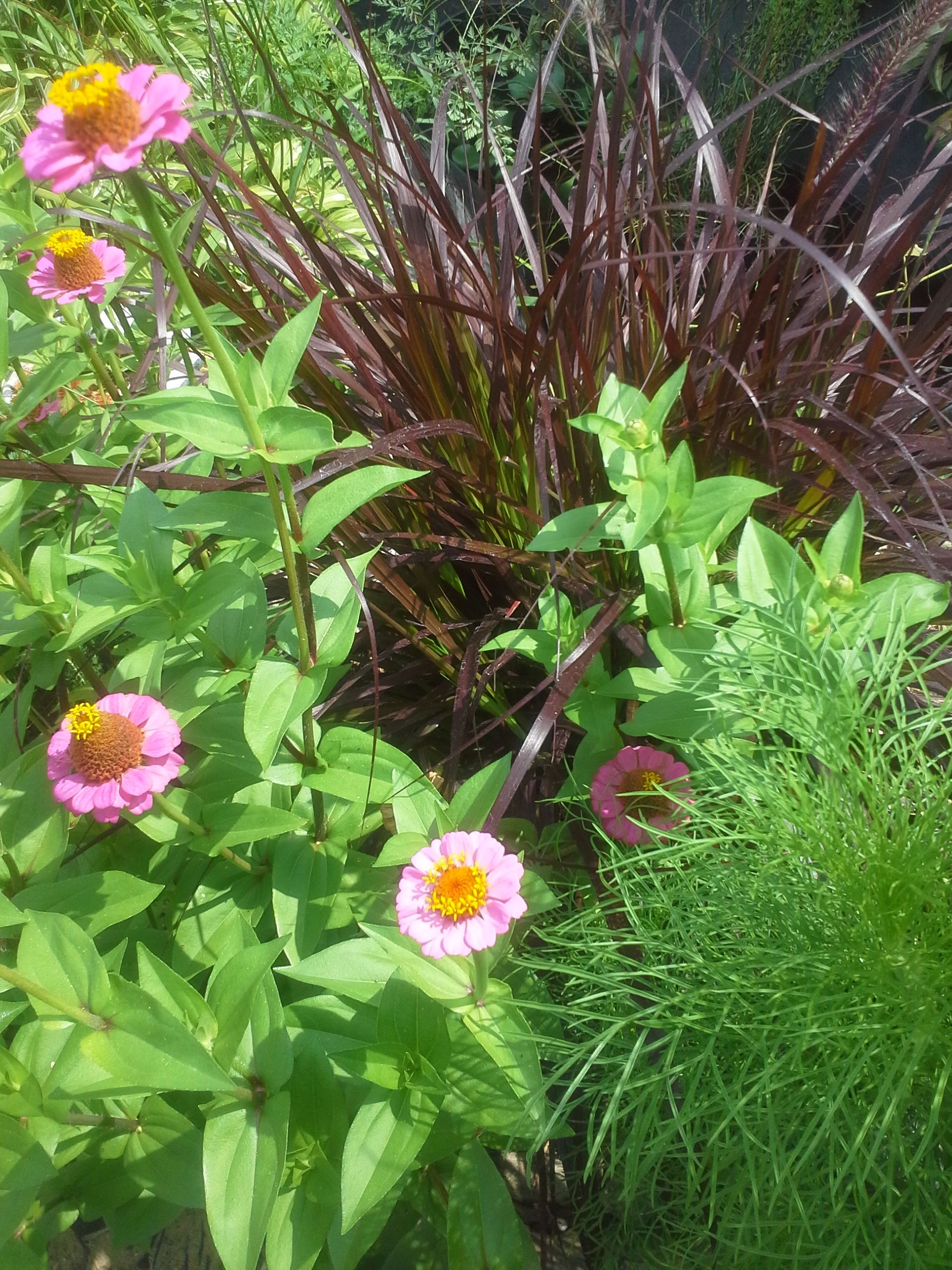 I like the contrast of this purple fountain grass next to