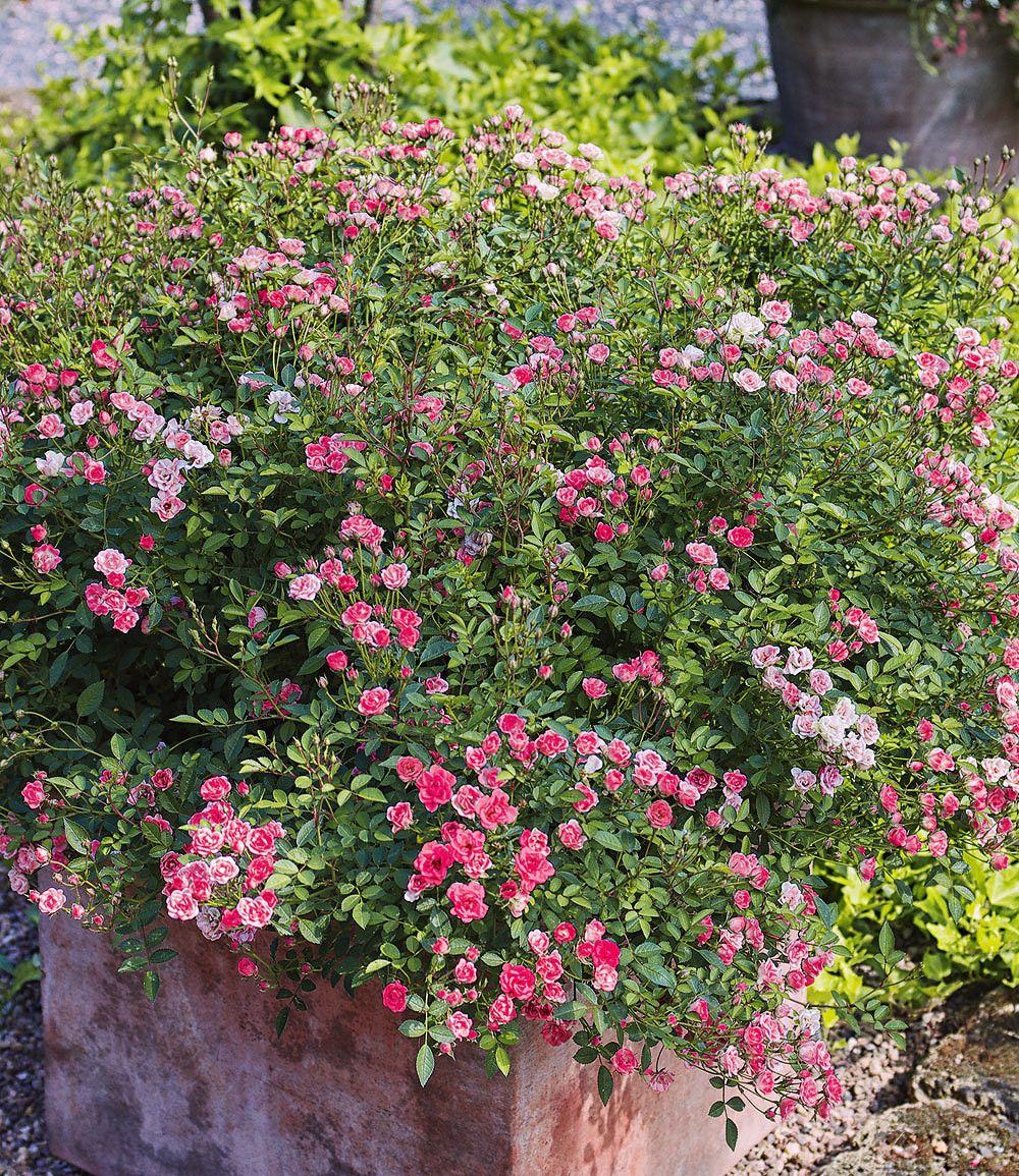 Lilly Rose Wonder5 1 Pflanze Gunstig Online Kaufen Mein Schoner Garten Shop Pflanzen Garten Bepflanzen Bepflanzung