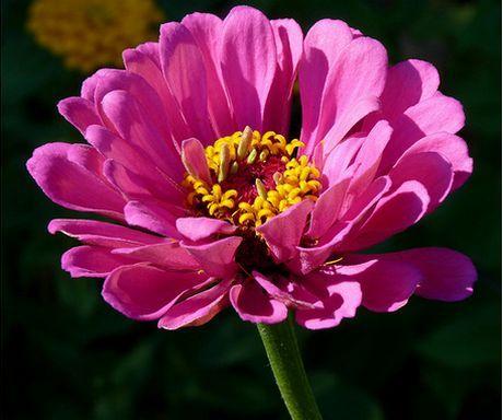 Zinnia Plant How To Grow Zinnia Profusion Flower Pretty Flowers