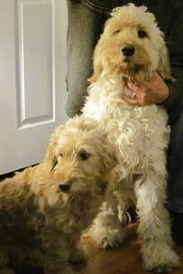 Miniature Goldendoodle Puppies For Sale Holly Michigan 48442