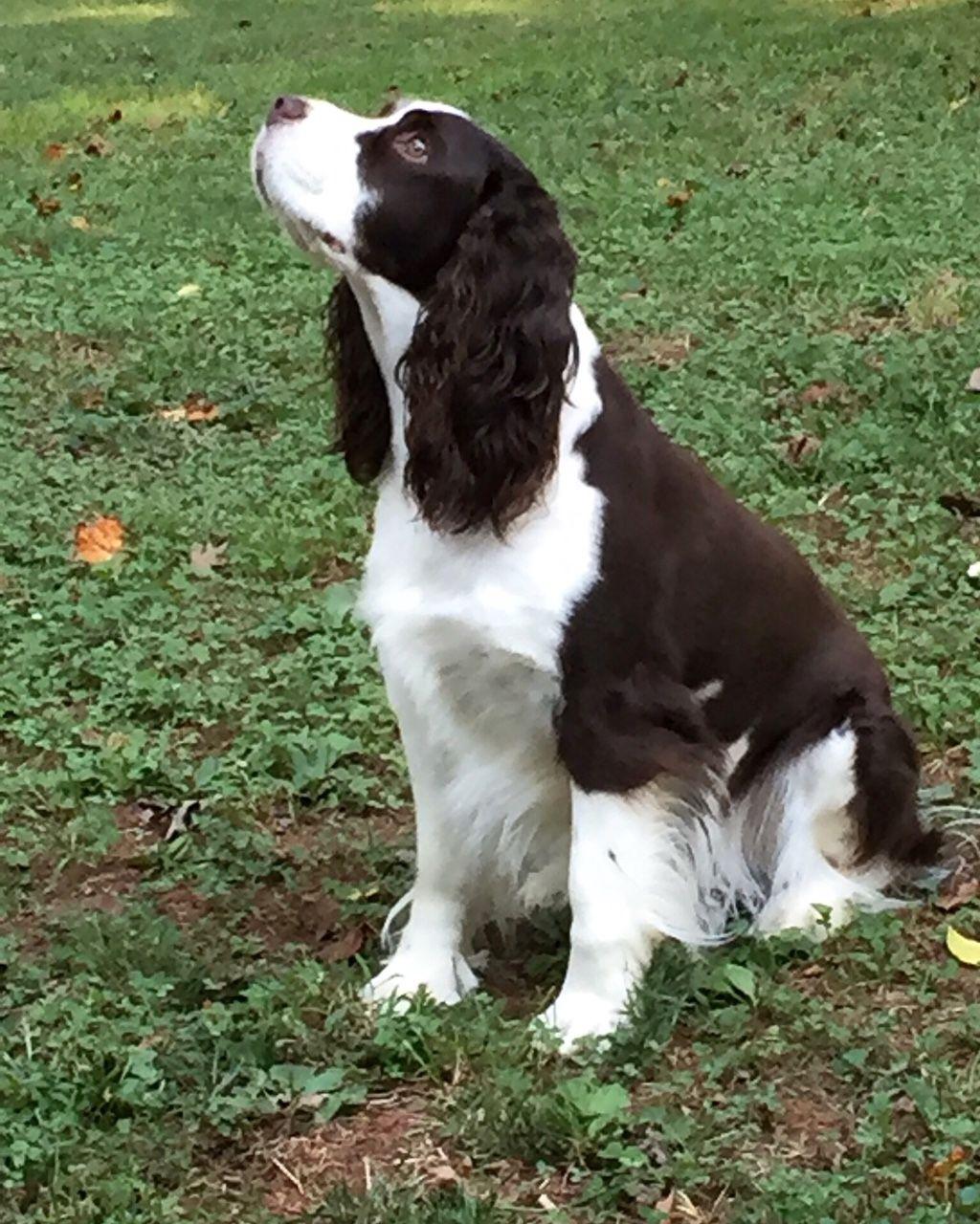 Mossmoon Moon Hunting Dogs Breeds Cocker Spaniel Dog