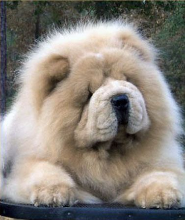Cream Fluffy Cream Color Chow Chow Fluffy Dogs Chow Chow