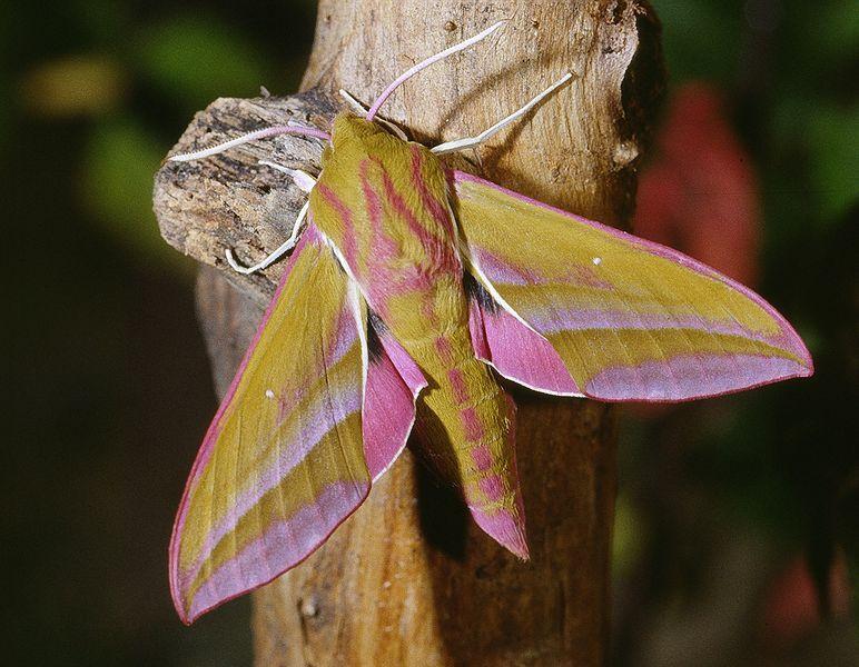 Deilephila Elpenor Known As The Elephant Hawk Moth Is A Large Moth Of The Sphingidae Family Source Motte Nachtfalter Falter