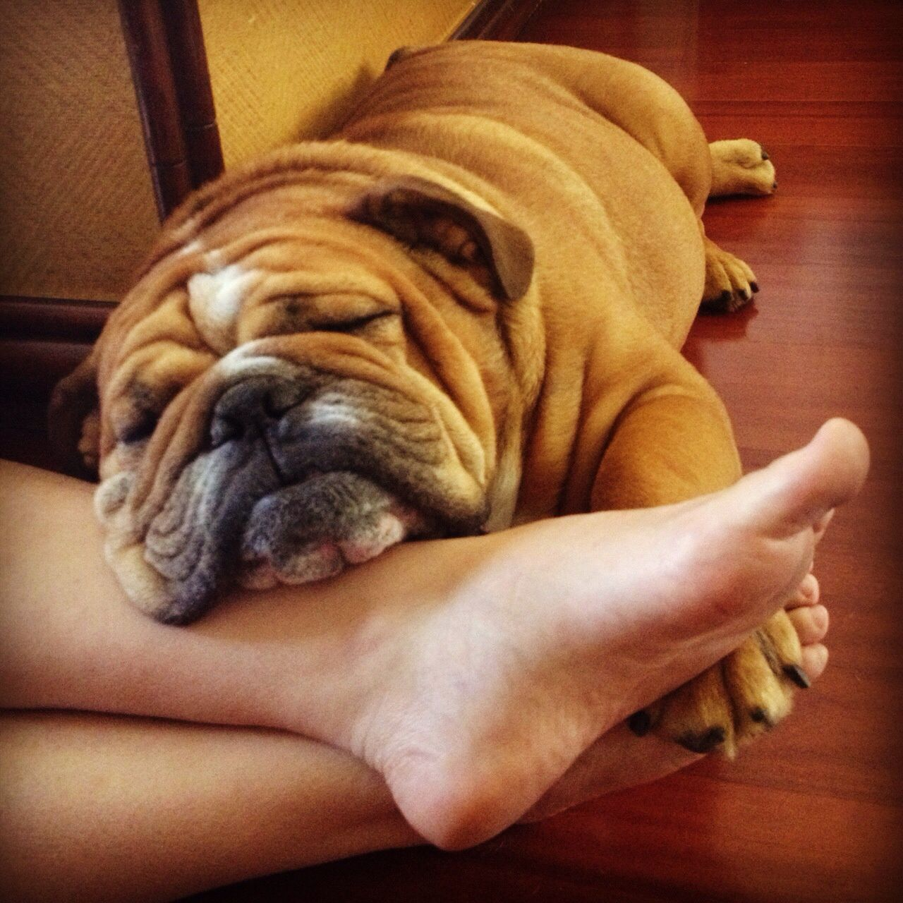 Love Bulldog #english #bulldog #englishbulldog #bulldogs #breed #dogs #pets #animals #dog #canine #pooch #bully #doggy