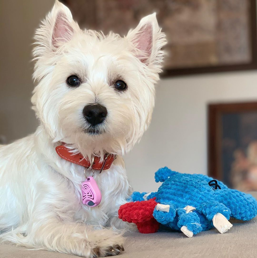 Pin by Ann Tilden on Westies Dog breeds that dont shed