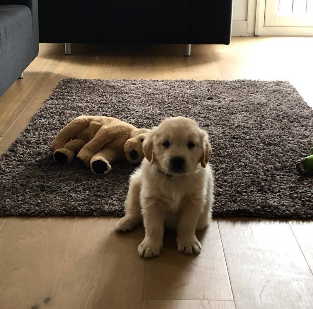 Golden Retrievers On Instagram First Day Home Follow