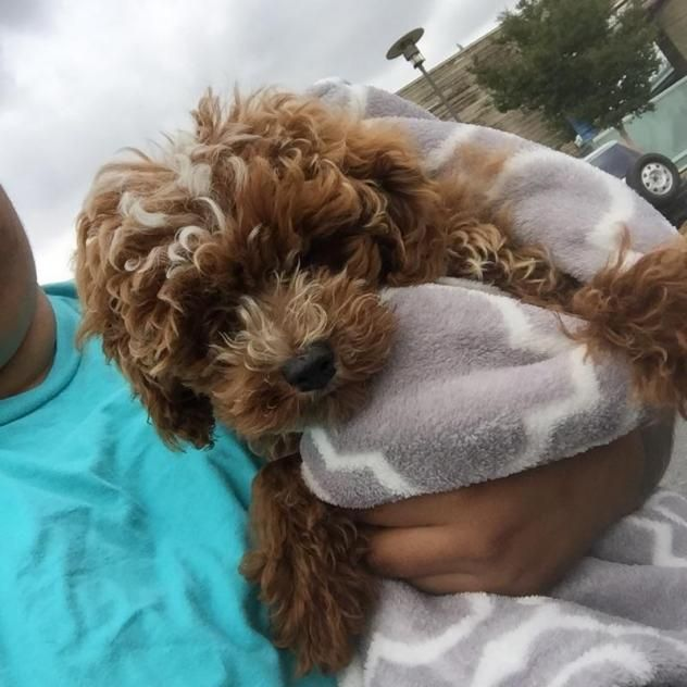 Adopt Tanner On Bichon Rescue Poodle Chocolate Poodle