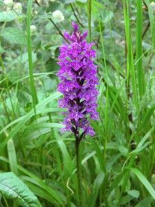 Heimische Orchideen Raempel Pflanzen Orchideen Gewachs