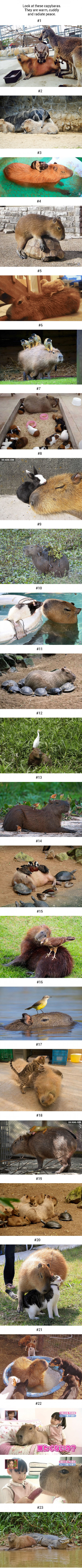 23 Photos Prove Capybara Can Befriend Every Other Species