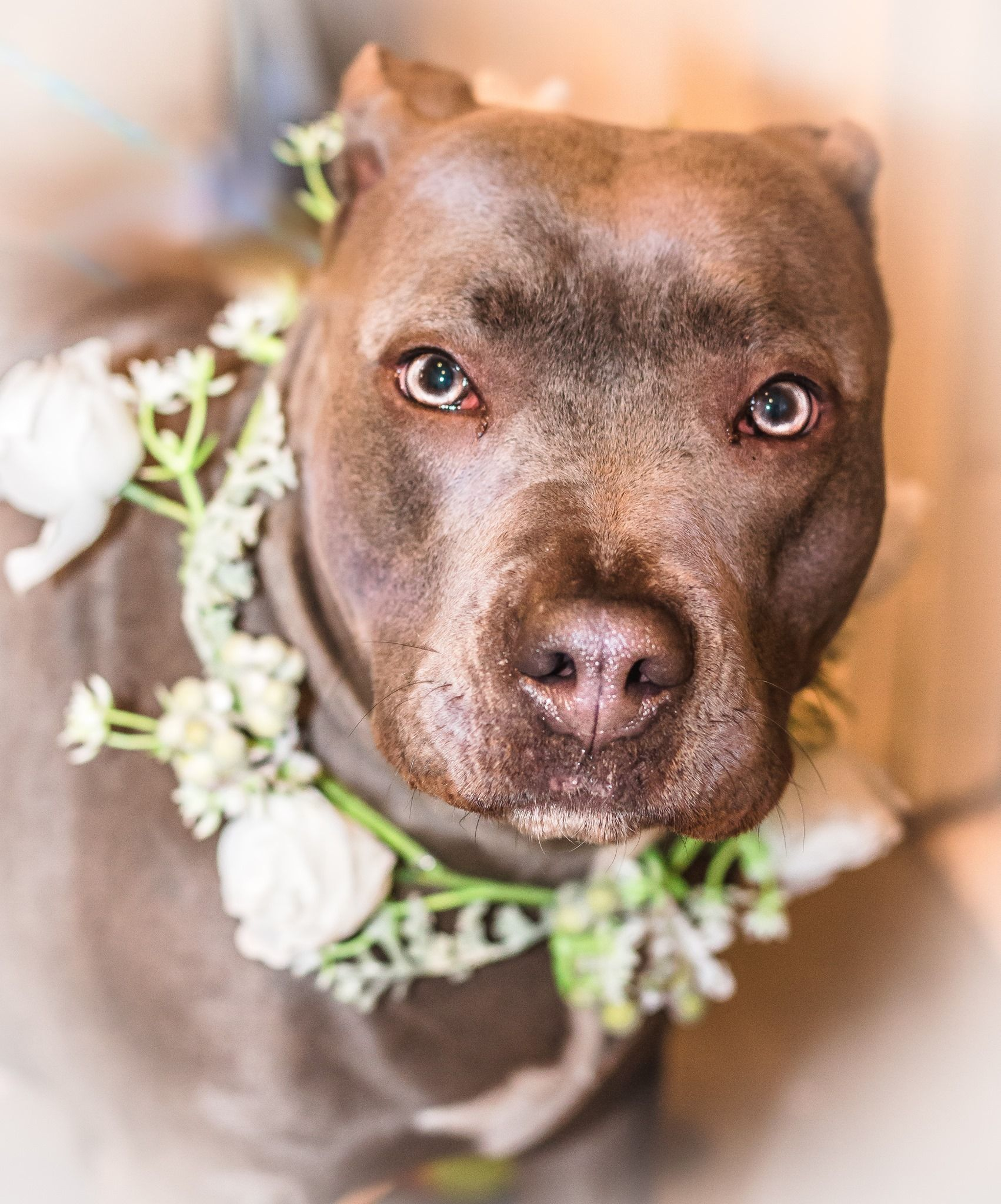 American Staffordshire Terrier dog for Adoption in West