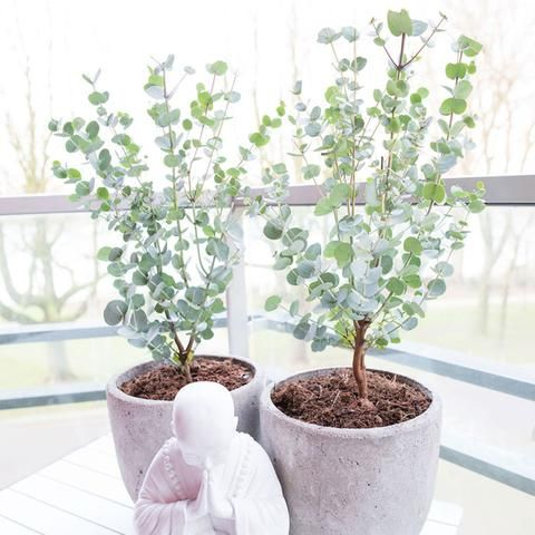 Gommier Eucalyptus 'Azura' blanc