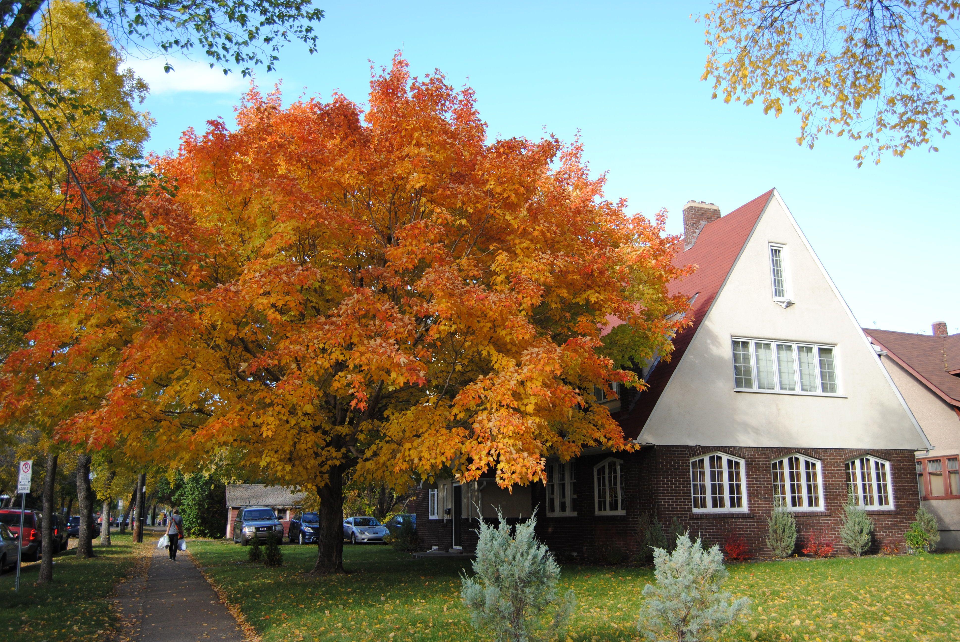 Maple tree <3