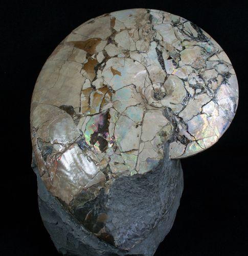 "6.7"" Placenticeras meeki Ammonite - Opalescent Shell"