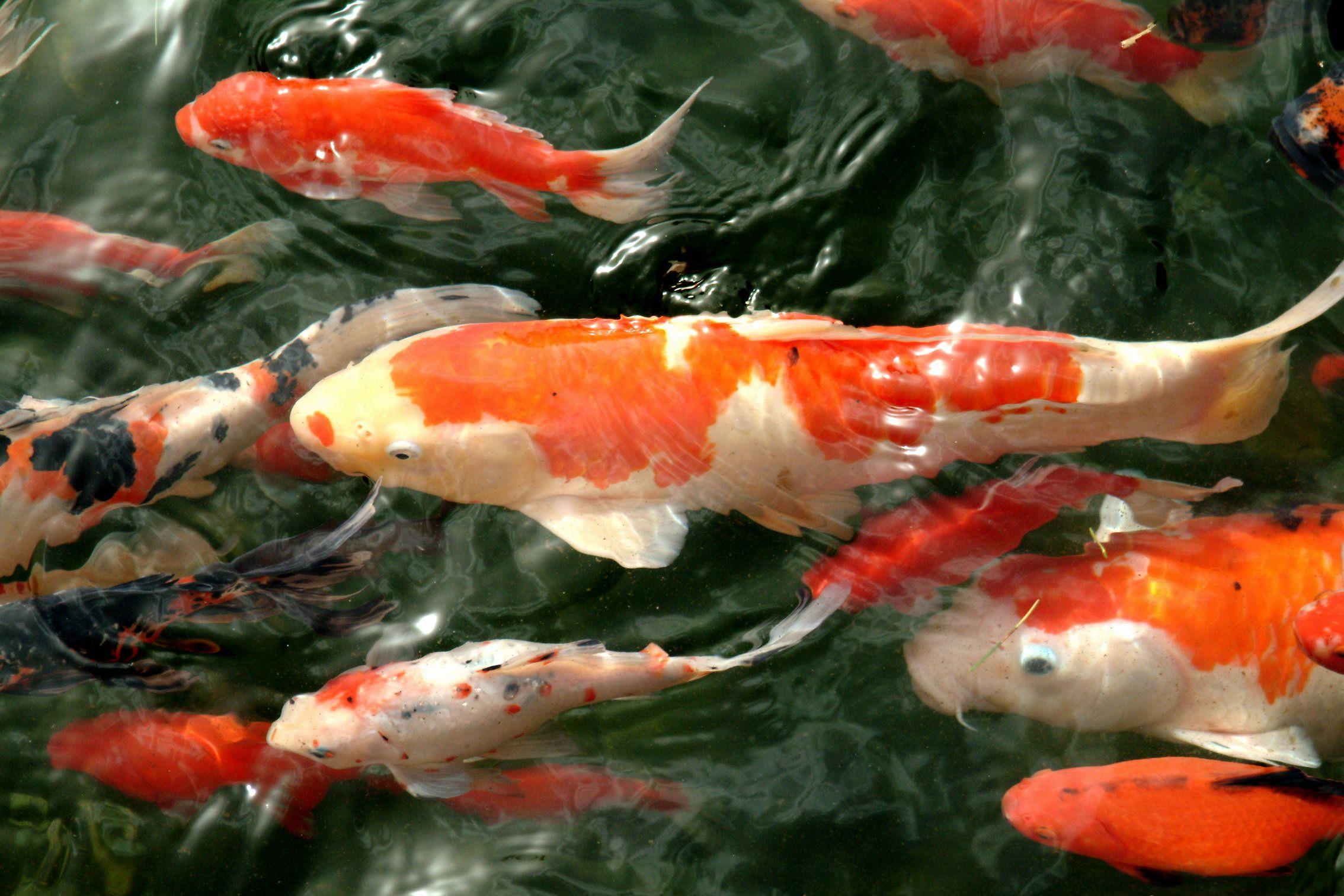 Fancy carp japanese national fish japan pinterest for Japanese koi carp