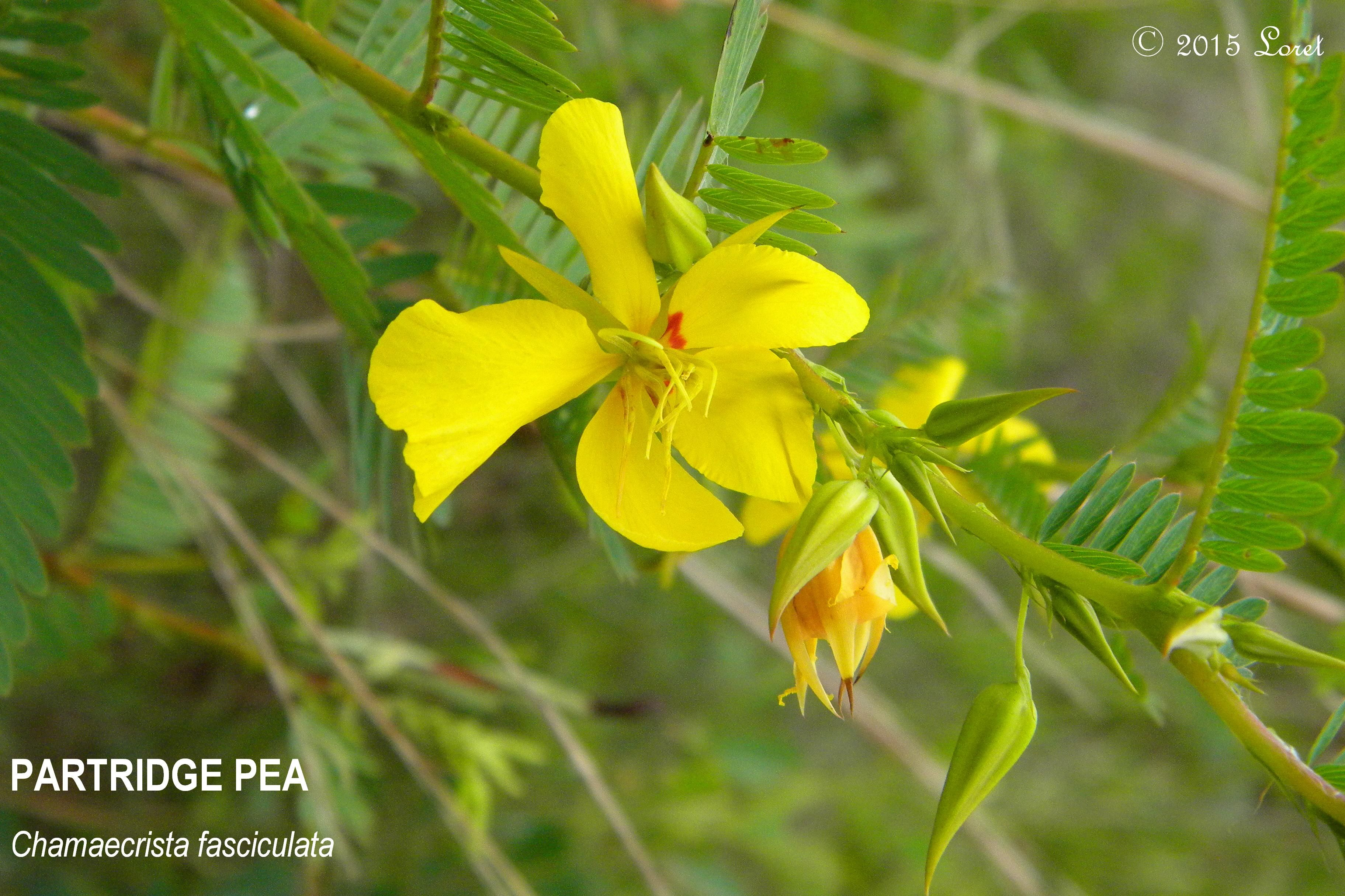 Partridge Pea Chamaecrista Fasciculata Partridge Plants And Gardens