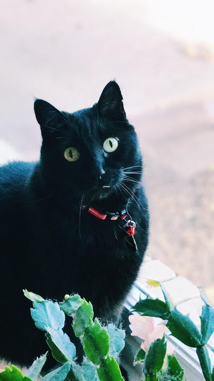 Happy National Black Cat Day From My Little Panther National Black Cat Day Black Cat Day Cat Day
