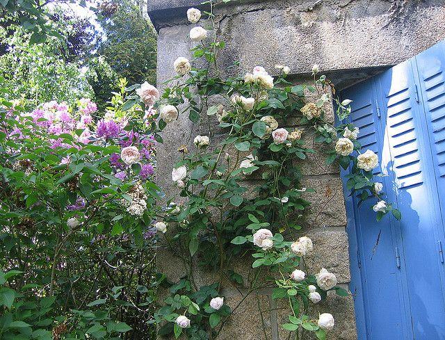 """Rose """"Souvenir de la Malmaison"""""""
