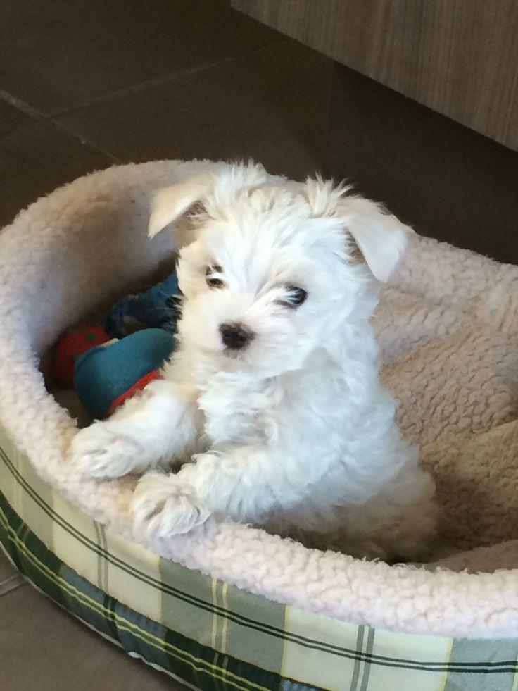 Two months puppy ♥ maltese pet puppy maltes maltés