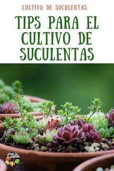 No importa qué tipo de suculentas cultives, las reglas son bastante similares entre las diferentes especies. Estas son las reglas generales para cultivar suculentas de alta calidad #suculentas #cactus #jardin #plantas