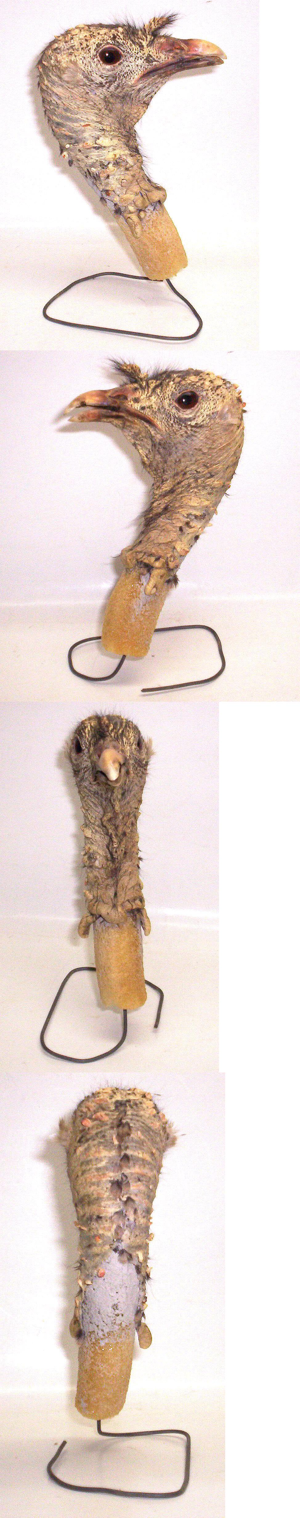 Birds 71123: Nos Freezed Dried Wild Turkey Taxidermy Mount Head Unpainted Alert Upright Pose -> BUY IT NOW ONLY: $60 on eBay!