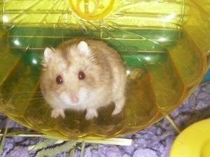 Adopt Hamsters!!! on Adoption, Hamster toys, Animals