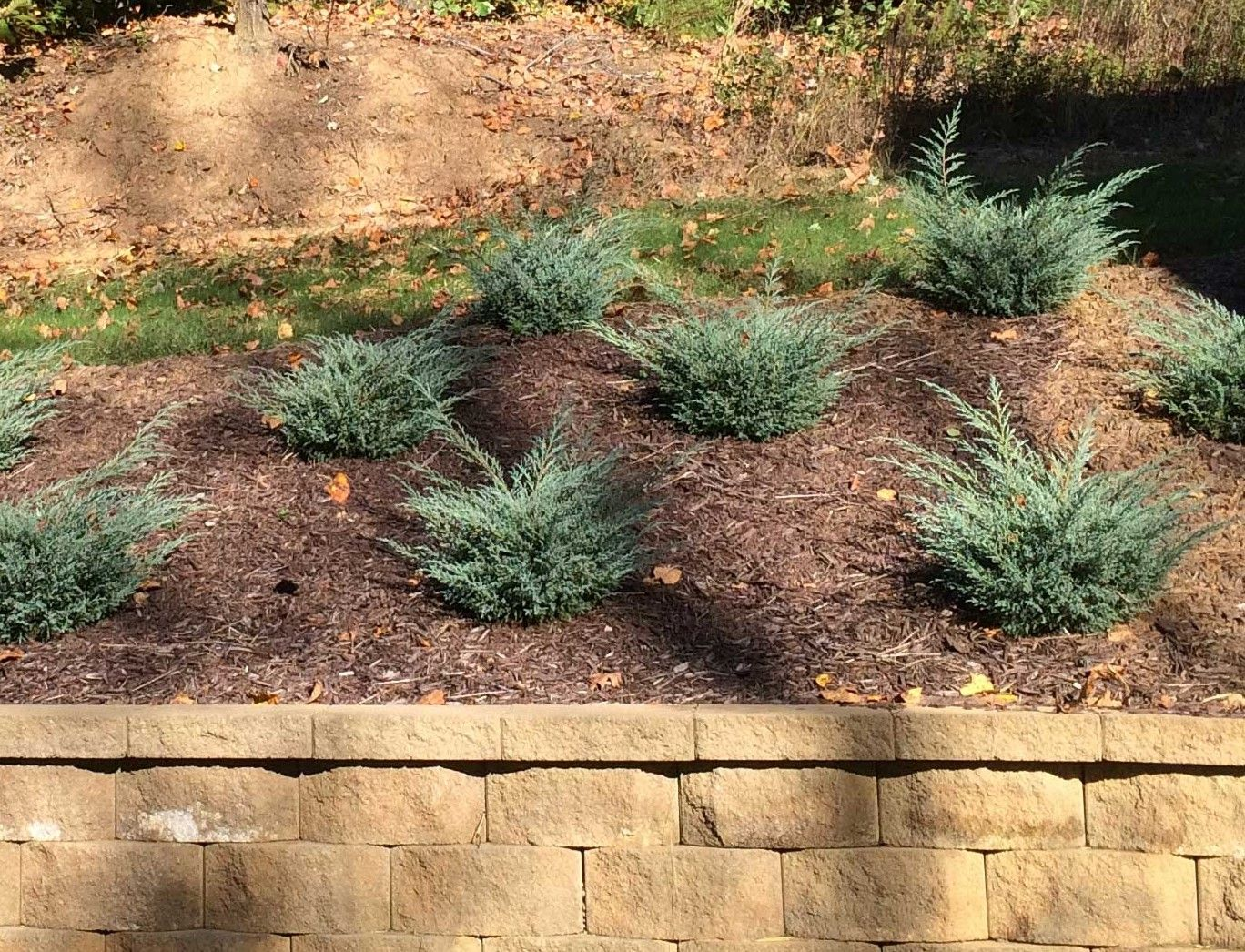 junipers are amazing - all about junipers | outdoors | pinterest