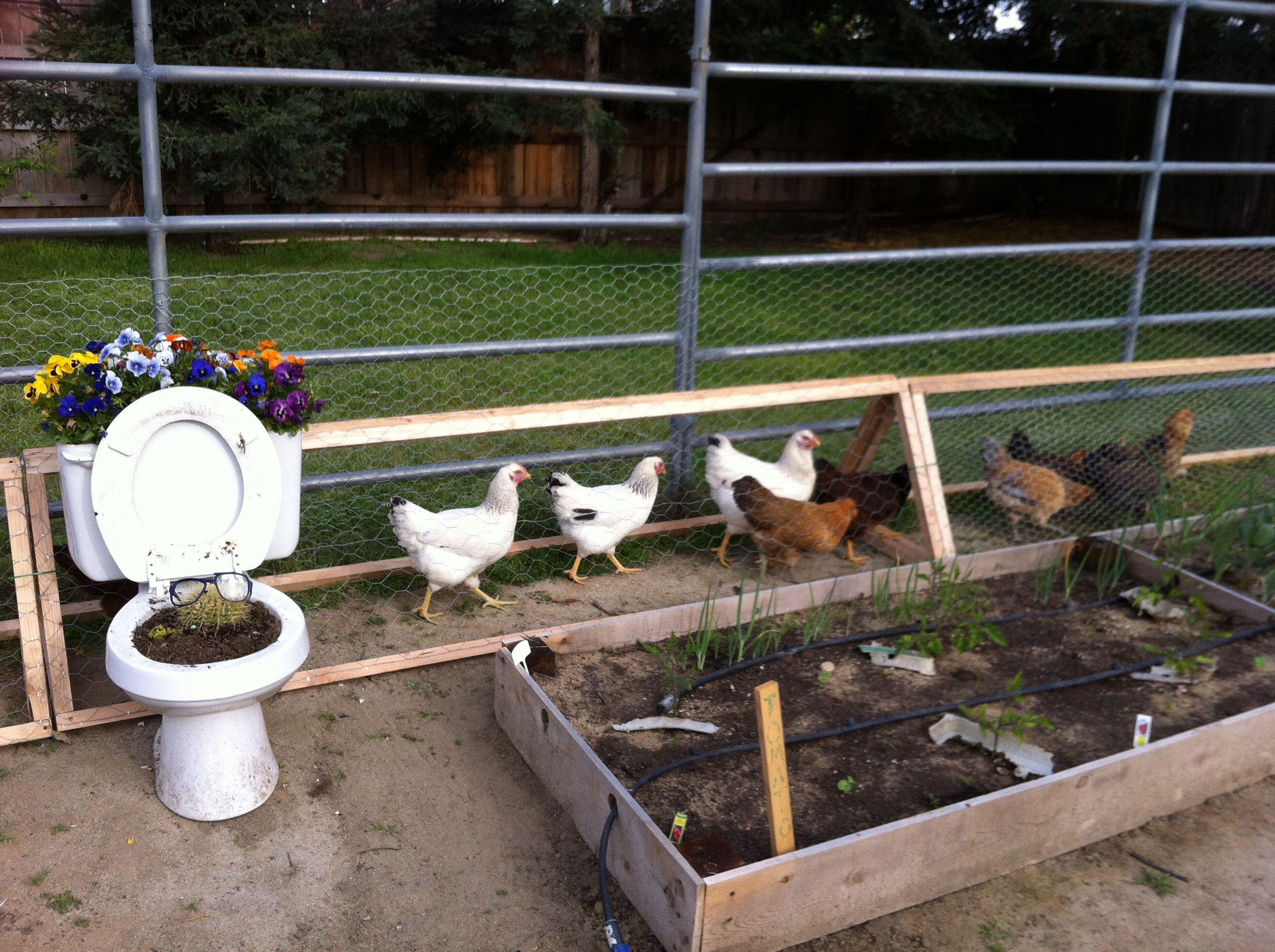 A Chicken Moat Garden - Thehomesteadingboards com