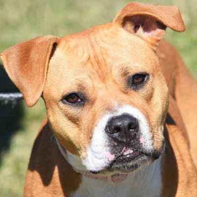 BullBoxer dog for Adoption in Huntley, IL. ADN663062 on