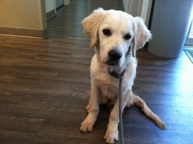 Adopt Wrigley On Golden Retriever Rescue Dogs Golden Retriever
