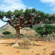 Frankincense   Healthy Oils Global